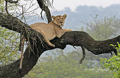 Photograph - Lounging Lioness by Mike Fitzgerald