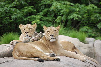 Lounging Lions Art Print by Samantha Kimble
