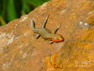 Art Print featuring the photograph Lounging Lizard by Rand Herron