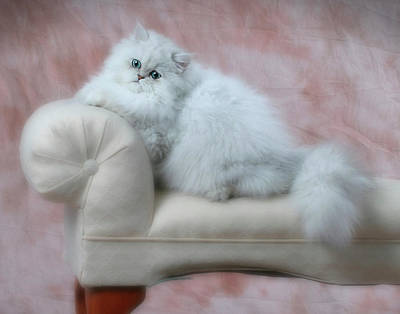 Photograph - Lounging Persian Cat by David and Carol Kelly
