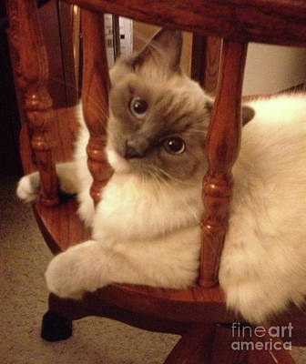 Photograph - Lovable Ragdoll Kitten by Nan Wright