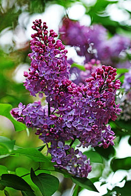 Photograph - Love And Lilacs by Debbie Oppermann