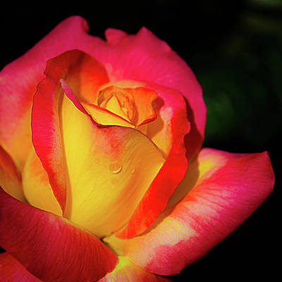 Photograph - Love And Peace Rose by Julie Palencia
