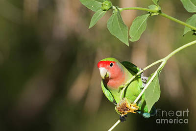 Rosy-faced Lovebird Photograph - Love Bird At The Garden  by Ruth Jolly