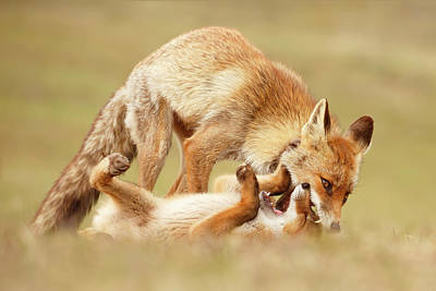 Sorrel Photograph - Love Bites - Mother Fox And Fox Kit by Roeselien Raimond