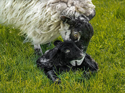 Photograph - Just Born by Nick Bywater