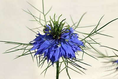 Photograph - Love-in-a-mist 2016 by Karen Adams
