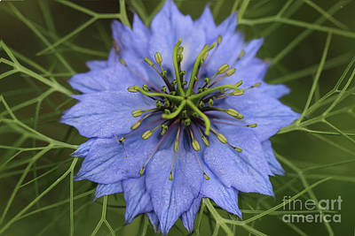 Photograph - Love In A Mist Flower 2016 by Karen Adams