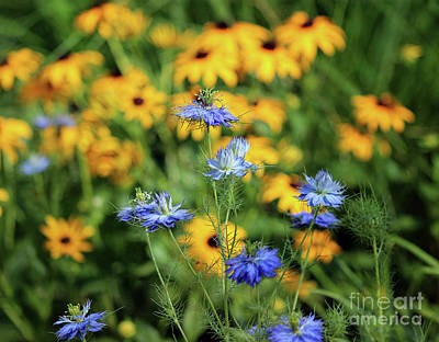 Photograph - Love In A Mist In Garden by Karen Adams