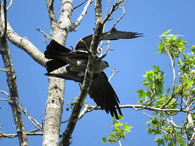 Mississippi Kite Photograph - Love In The Afternoon by Charles Green