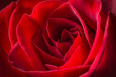 Photograph - Love Is A Red Rose by Dale Kincaid