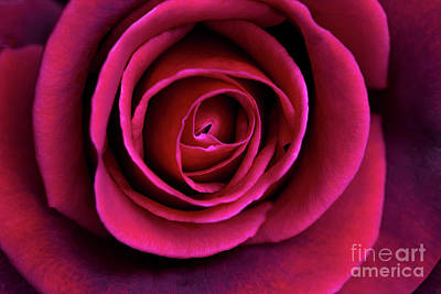 Photograph - Love Is A Rose by Linda Lees
