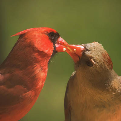 Photograph - Love Is In The Air Cardinals Square by Terry DeLuco