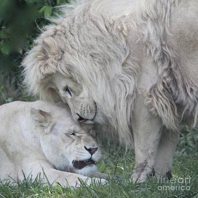 Photograph - Love Lions by Gaby Tench