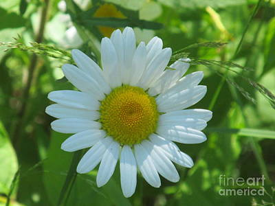 Photograph - Love Me Daisy by Loretta Pokorny