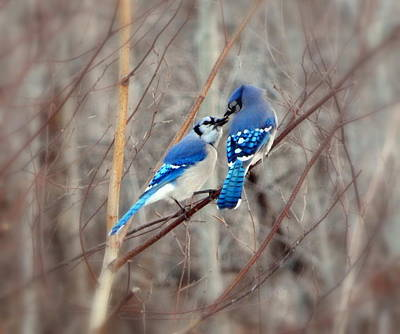 Bluejay Photograph - Love Me Tender by Karen Cook