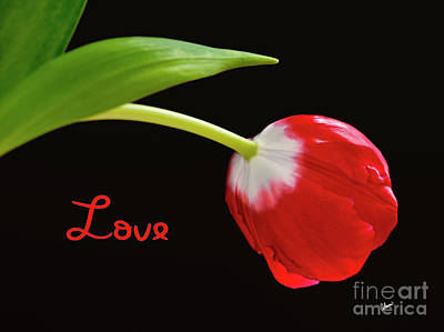 Photograph - Love - Red Tulip by Alana Ranney
