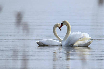 Photograph - Love Story - Mute Swans - Cignus Olor by Jivko Nakev