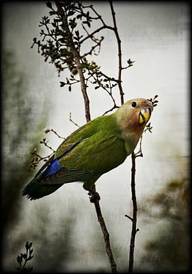Lovebird Photograph - Lovebird  by Saija  Lehtonen