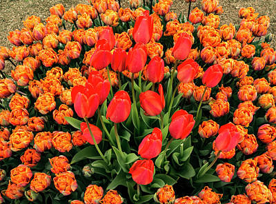 Photograph - Lovely Bunch Of Tulips by Jean Noren