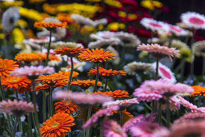 Gerbera Daisy Photograph - Lovely Daisy Garden by Garry Gay