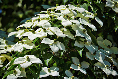 Photograph - Lovely Dogwood Blossoms by Carol Groenen