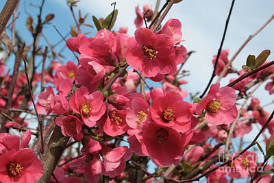 Photograph - Lovely Flowering Quince by Carol Groenen