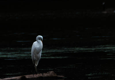 Photograph - Lovely Great Egret  by Edward Peterson
