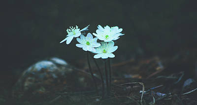 Photograph - Lovely Hepatica by Pixabay