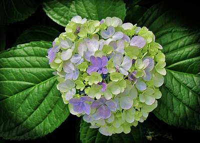 Photograph - Lovely Hydrangea by Cynthia Guinn