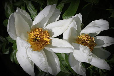 Photograph - Lovely In White -  Peonies by Dora Sofia Caputo Photographic Design and Fine Art
