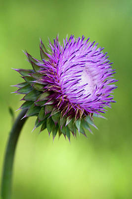 Photograph - Lovely Lavender Bristle Thistle by Kathy Clark