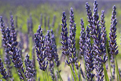 Photograph - Lovely Lavender by Crystal Hoeveler