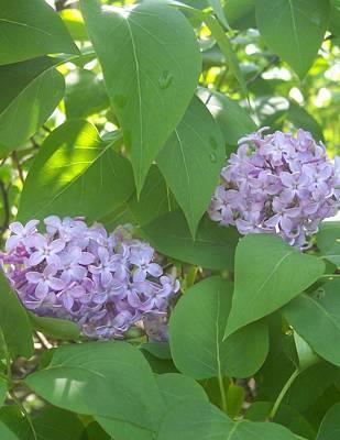 Lovely Lilacs 2 Original
