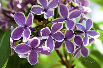 Photograph - Lovely Lilacs by Joann Copeland-Paul