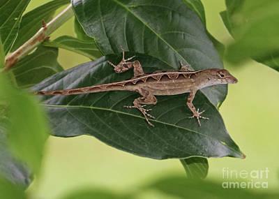 Photograph - Lovely Lizard by Carol Groenen