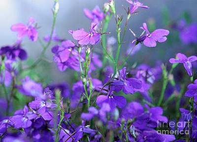 Photograph - Lovely Lobelia by Marcia Breznay