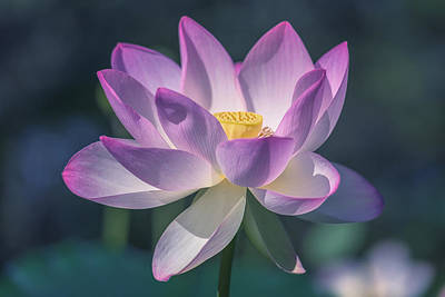 Photograph - Lovely Lotus by Cindy Lark Hartman