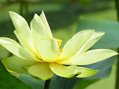 Photograph - Lovely Lotus by Lori Frisch