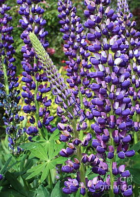 Photograph - Lovely Lupines by Carol Groenen