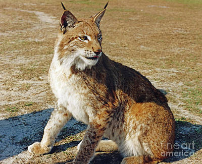 Photograph - Lovely Lynx by D Hackett