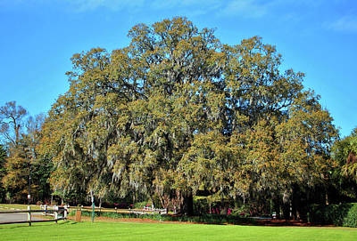 Photograph - Lovely Oak by Cynthia Guinn