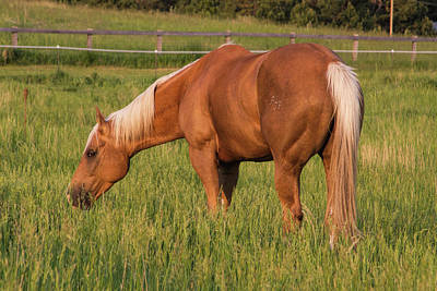Photograph - Lovely Palomino by Alana Thrower