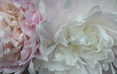 Peony Photograph - Lovely Peonies by The Art Of Marilyn Ridoutt-Greene