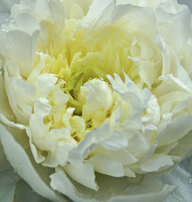 Print featuring the photograph Lovely Peony by Sandy Keeton