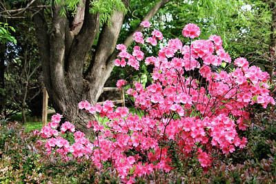 Photograph - Lovely Pink Azalea by Trina Ansel