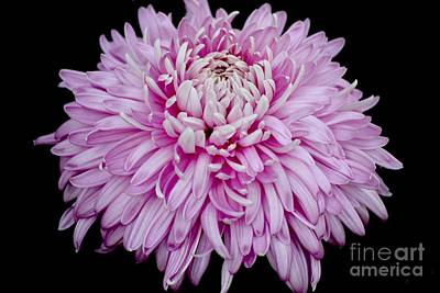 Photograph - Lovely Pink Chrysanthemum  by Jeannie Rhode