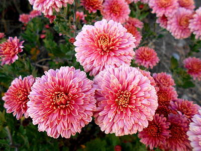 Photograph - Lovely Pink Chrysanthemums by Erika H