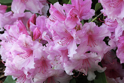 Photograph - Lovely Pink Rhododendrons by Jeanette C Landstrom