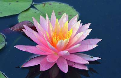 Photograph - Lovely Pink Water Lily by Richard Bryce and Family